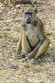 Baboon Seated on Grass