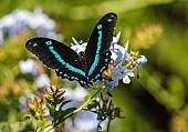 Blue-banded Swallowtail Butterfly with Wings Spread