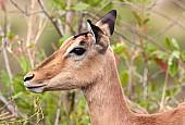 Impala female, Kruger Park