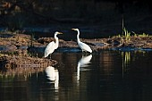 Great Egret Duo