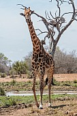 Giraffe male standing tall near waterhole