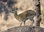 Klipspringer male, side-on view