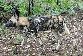 Wild Dog with Damp Fur