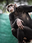 Chimpanzee Looking into Distance