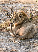 Lion Male Looking to Side