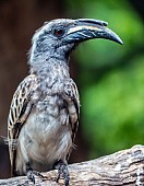 African Grey Hornbill Male
