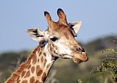 Giraffe Female Close-up