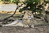 Lion Male Lying Regally