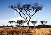 Acacia Trees in Long Winter Grass
