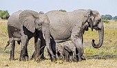 Elephant Pair with Youngsters
