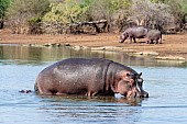 Hippo walking towards land