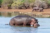 Hippo walking towards land