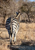 Zebra, View from the back
