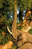 Elephant Reaching Up with Trunk to Feed