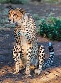 Cheetah Female on Haunches
