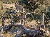 Cheetah Trio on Tree Stump