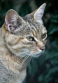 African Wild Cat, Head Shot