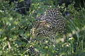 Leopard Moving through Thick Bush