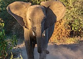 Young Elephant Confronting Game Drive Vehicle
