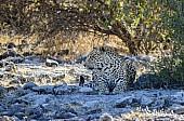 Leopard Lying in Shade