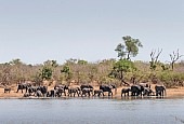 Elephants Coming to Drink