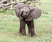 Baby Elephant Standing with Ears Spread
