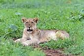 Lion Juvenile at Rest
