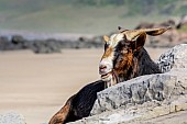 Goat on Rocks with Beach in Background