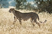 Cheetah Female in Winter GraSS