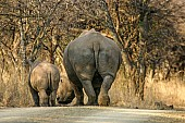 White Rhino Female with Youngster