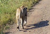 Lioness Walking, Rear View