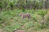 Cheetah Male Traversing Open Ground