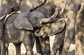 Elephant Youngsters Showing Affection