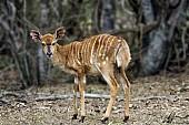 Nyala antelope fawn