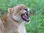 Lioness Showing Teeth while Yawning