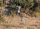 Kori Bustard Walking, Side View