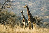 Giraffe Male with Female
