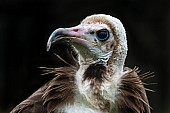 Hooded Vulture, Close-Up
