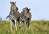 Zebra Pair, Front-on View