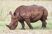 Juvenile White Rhino Grazing