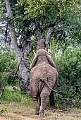 African Elephant Feeding, Rear View