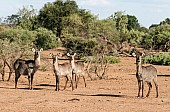Waterbuck Adults with Juveniles