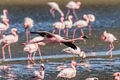 Lesser Flamingo Airborne