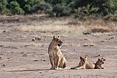 Lion and Cubs in Open Ground