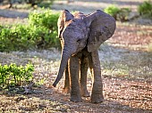 Elephant Calf in Warm Light