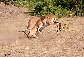 Impala Rams Fighting