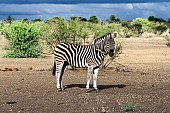 Zebra with Wound on Neck