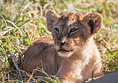 Lion Cub Lying in Thick Grass
