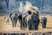 Elephants Throwing up Dust