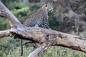 Leopard on its Haunches
